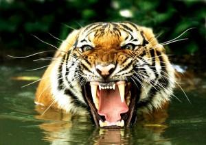 Imagen-Tigre-de-Bengala