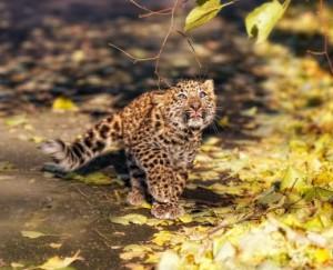 leopardo,-cachorro,-hojas-secas-182565